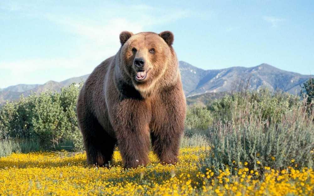 ВКрасноярском крае медведь гулял поселу