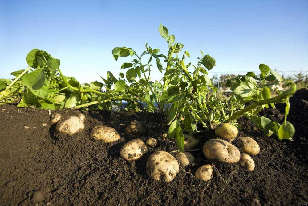 Выращивание картофеля рентабельность 4